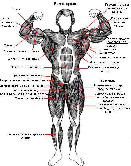 Расположение мышц. Вид спереди