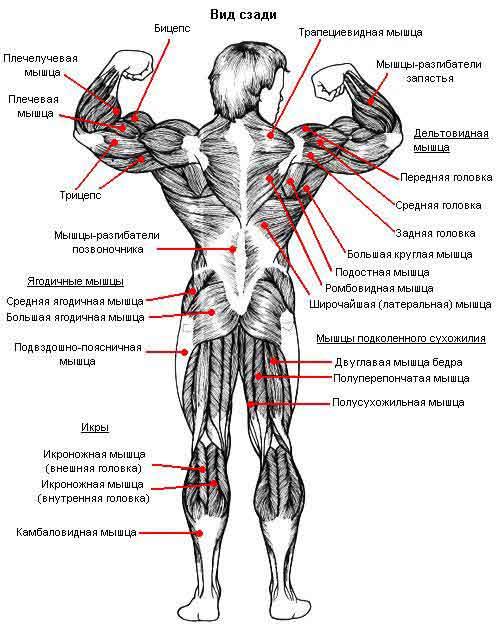 Расположение мышц. Вид сзади