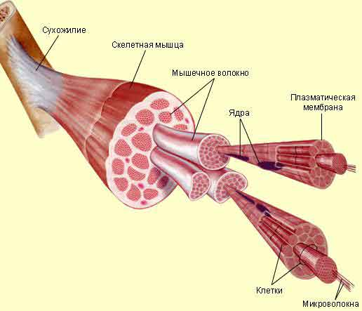 Структура мышцы