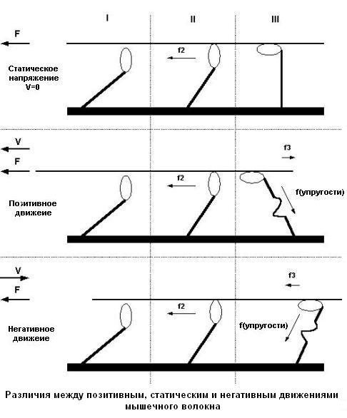 Контроль над сокращением мышц. Различия между позитивным, статическим и негативным движением мышечного волокна
