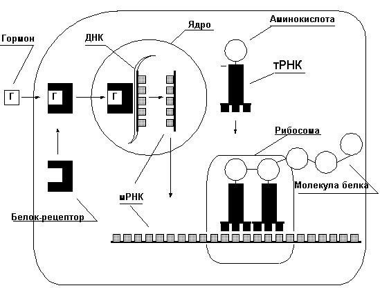 Мышечная масса. Образование белка