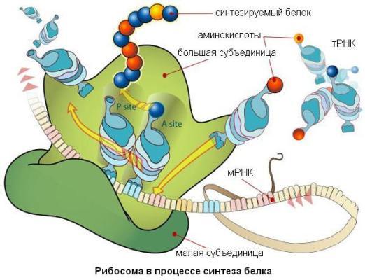 Мышечная масса. Построение белка в рибосомах