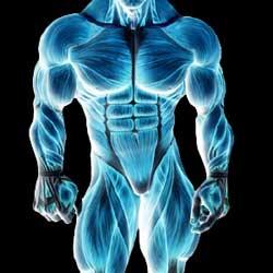 Мышечный рост. Гиперплазия. Увеличение количества мышечных волокон