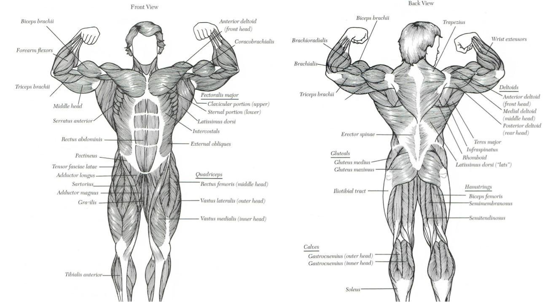 Анатомическое строение мышц человека