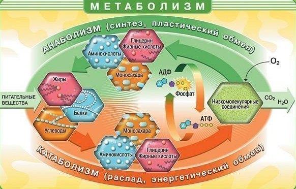 Обмен веществ в организме (метаболизм)
